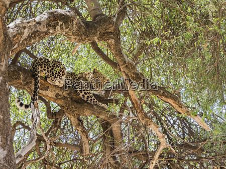 an adult leopard panthera pardus feeding