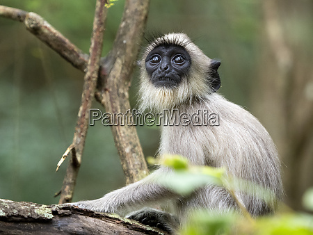 a young tufted gray langur semnopithecus
