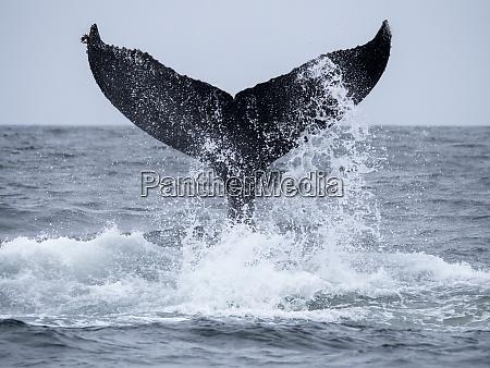 humpback whale megaptera novaeangliae tail lobbing