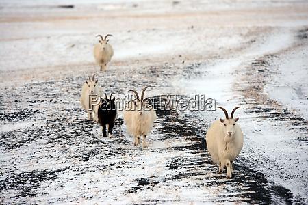 goats on snowy terrain iceland polar