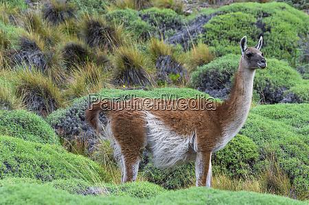 guanaco lama guanicoe patagonia national park