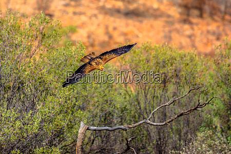 wedge tailed eagle aquila audax australias