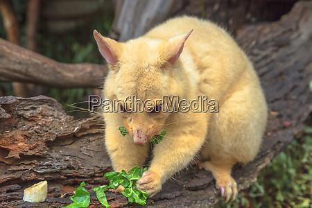 golden brushtail possum eating the light