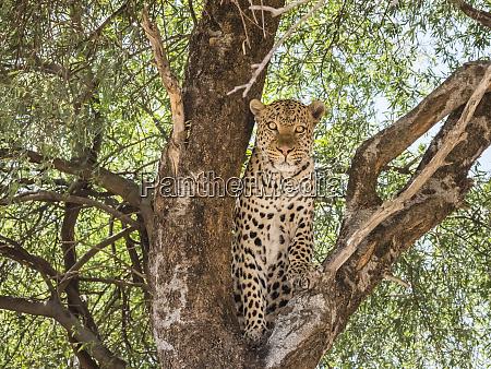 an adult leopard panthera pardus done