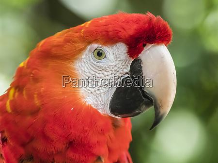 scarlet macaw ara macao amazon rescue