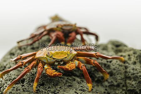 a line of fiddler crabs on
