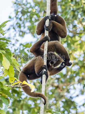 a pair of common woolly monkeys