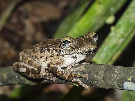 an adult manaus slender legged treefrog