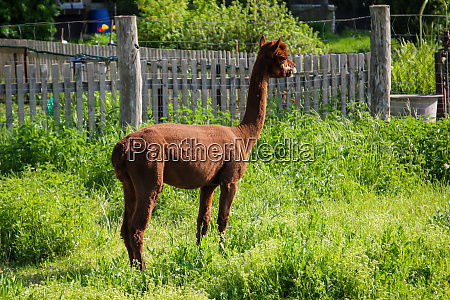 alpacas in a pasture they make