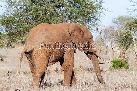 elephant loxodonta africana tsavo east kenya