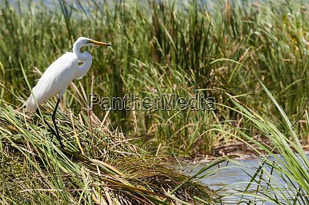 great egret ardea alba lake jipe