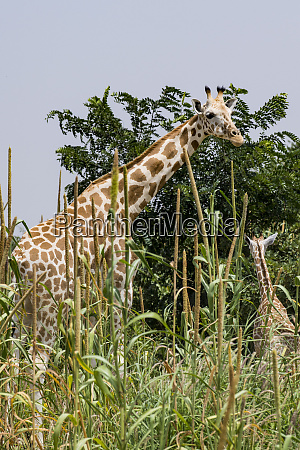 west african giraffes giraffa camelopardalis peralta