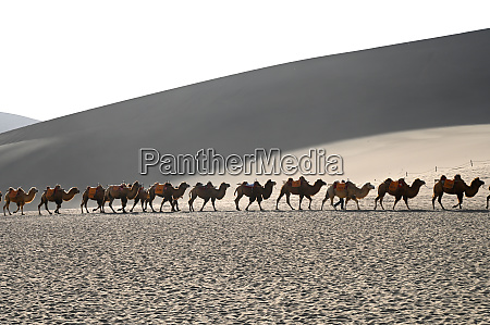 camels being led back through the