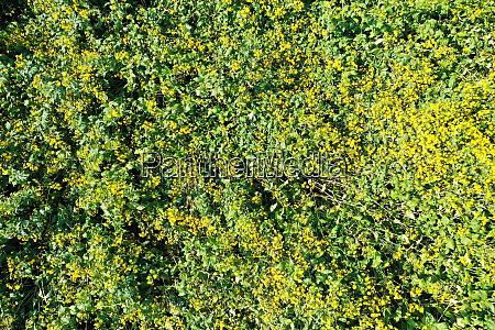 jerusalem artichoke on the field