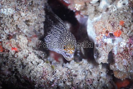 moray eel tofo mozambique africa