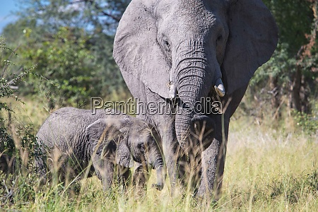 elephant and her calf liwonde national