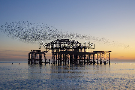 starling murmuration over the west pier