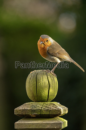 robin perched on a weathered garden