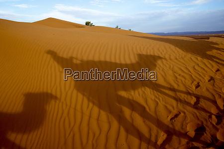 dromedary trek in eastern morocco north