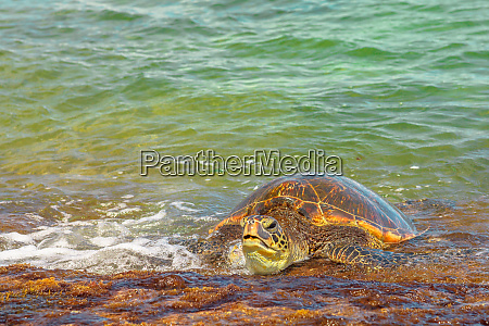 hawaiian sea turtle green sea turtle
