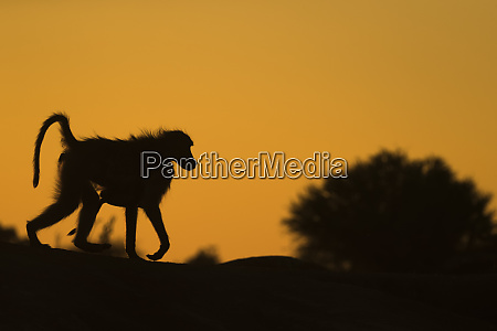 chacma baboon papio ursinus carrying infant