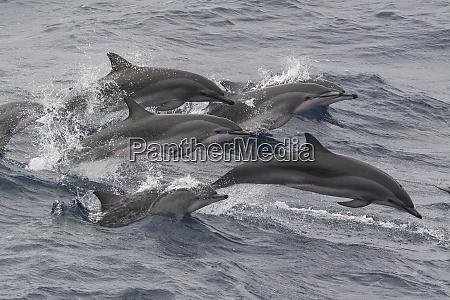 clymene dolphins stenella clymene porpoising and