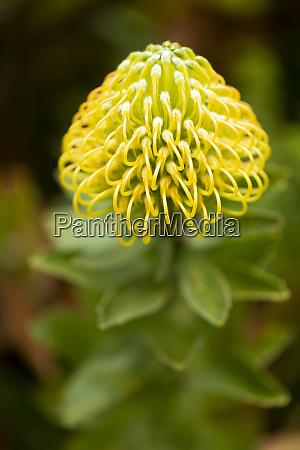 yellow tropical flower botanical gardens maui
