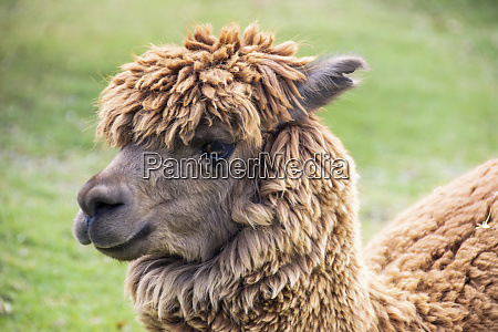 close up portrait of an alpaca