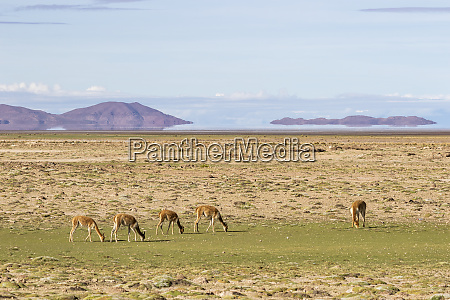vicunas vicugna vicugna grazing with the