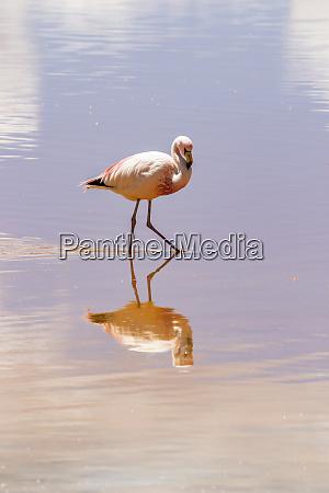 flamingo wading in laguna colorada eduardo