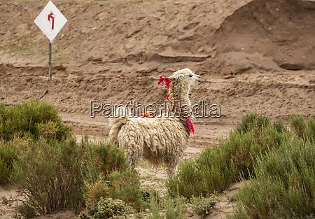 llama lama glama standing at a