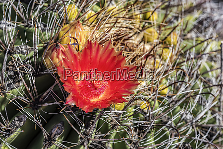 the flower of the ferocactus meaning