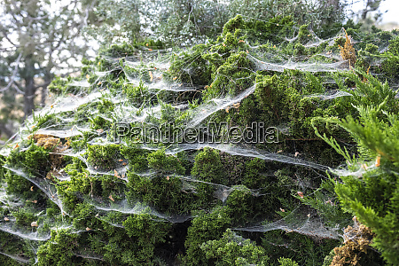 spider webs covering an evergreen juniper