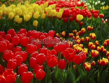 garden flowers tulips