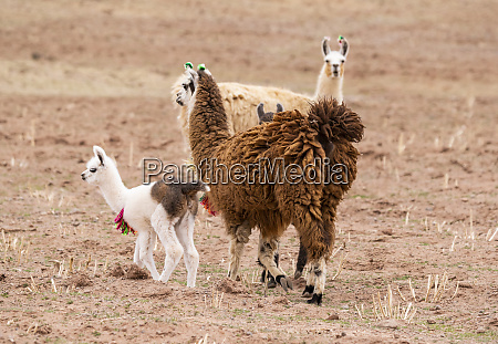 llamas and cria lama glama nor