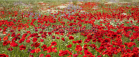 abundance of red poppies and other