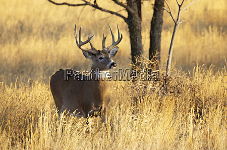 white tailed deer buck odocoileus virginianus