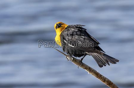 yellow headed blackbird xanthocephalus xanthocephalus perched