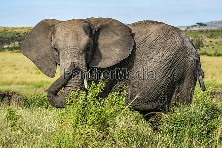 portrait of african elephant loxodonta africana