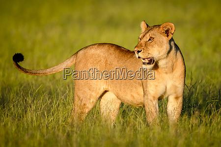 close up of lioness panthera leo