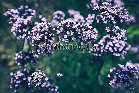 pretty purple flowers on a fuzzy