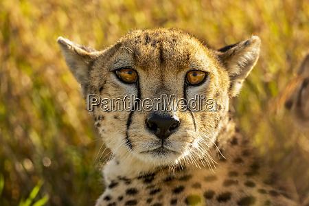 close up portrait of cheetah lying
