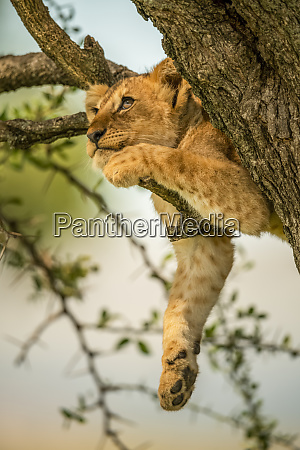 lion cub panthera leo relaxing on