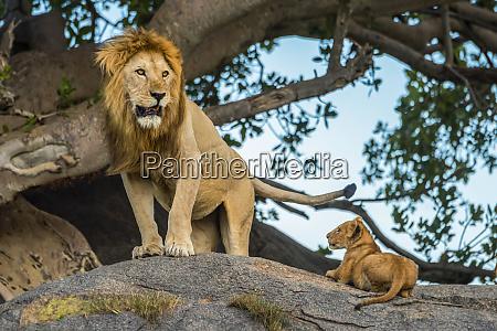 male lion panthera leo standing on
