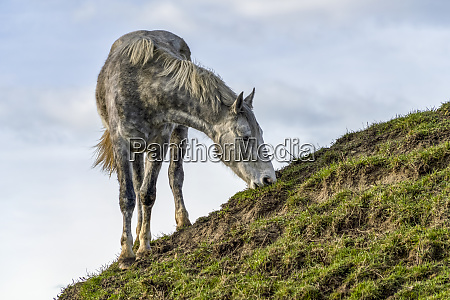horse grazing on a grassy sloped