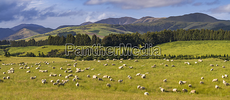 a flock of sheep ovis aries