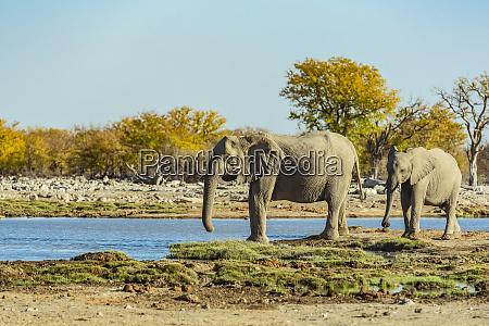 african elephants loxodonta etosha national park