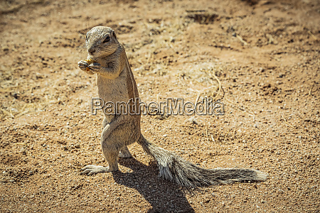 ground squirrel sciuridae in solitaire namib
