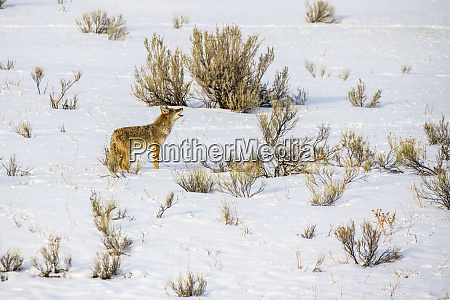 lone coyote canis latrans stands and