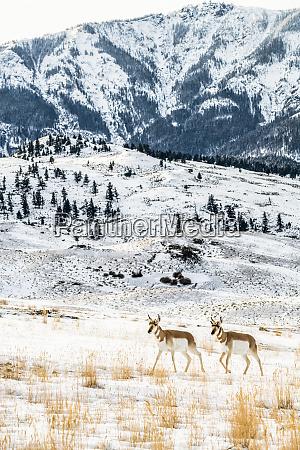 pronghorn antelope antilocapra americana walking through